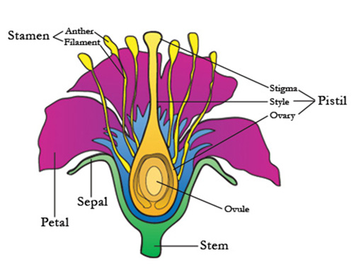 Plant flower anatomy