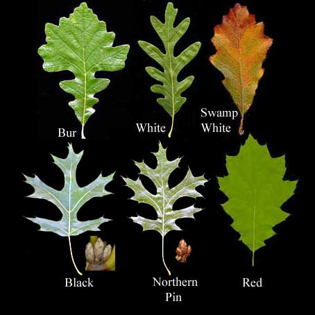 Adventures in Field Botany / Fagaceae